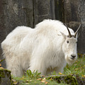 Mountain Goat by Marv Vandehey