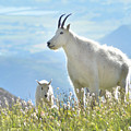 Mountain Goat Momma And Kid by Tara Roberts