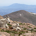 Mountain Goat Mother And Kid In Mountain Home by Max Allen