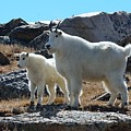 Mountain Goat Mother And Kid by Tranquil Light  Photography