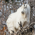 Mountain Goat Pride by Yeates Photography