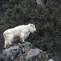 Mountain Goat by Ronnie and Frances Howard