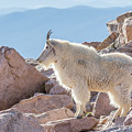 Mountain Goat Takes In Its High Altitude Home by Tony Hake