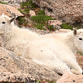 Mountain Goat Twins by Max Allen