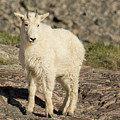 Mountain Goat Yearling by Lois Lake