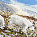 Mountain Goats 1 by Marilyn Hunt