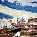Mountain Goats 2 by Marilyn Hunt