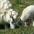Mountain Goats by Carol Milisen
