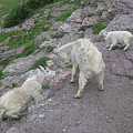 Mountain Goats by Diane Wallace
