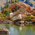 Mountain Goats In Early Fall by Daniel Mazzei