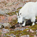 Mountain Goats On Mount Bierstadt In The Arapahoe National Fores by Steve Krull