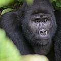 Mountain Gorilla by Adrian O Brien