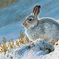 Mountain Hare by Andrew Hutchinson