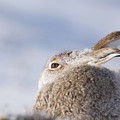Mountain Hare - Scottish Highlands  #10 by Karen Van Der Zijden