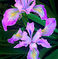 Mountain Iris In Flower California by Dave Welling