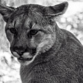 Mountain Lion Bw by Chris Flees