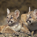 Mountain Lion Cubs On Rock Outcrop by Dave Welling