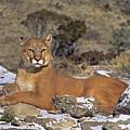 Mountain Lion Felis Concolor Captive by Dave Welling