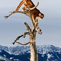 Mountain Lion In Tree by Scott Read