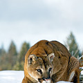 Mountain Lion In Winter by Melody Watson