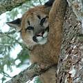 Mountain Lion  by Janice Robertson