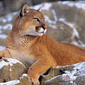 Mountain Lion On Snow-covered Rock Outcrop by Dave Welling