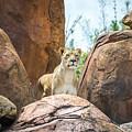 Mountain Lion by Pamela Williams