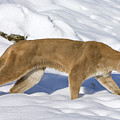 Mountain Lion Puma Concolor Hunting by Matthias Breiter