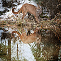 Mountain Lion Reflection by Scott Read