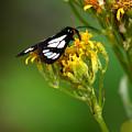 Mountain Moth by Patrick Godfrey