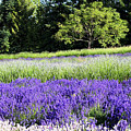Mountainside Lavender Farm by Sherrie Triest