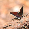 Mourning Cloak Butterfly by Angela Murdock