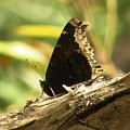 Mourning Cloak Butterfly by Joanne Young