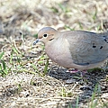 Mourning Dove 2 by Bonfire Photography