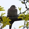 Mourning Dove 2 by Sheli Kesteloot