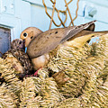 Mourning Dove And Chick by Steven Ralser