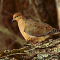 Mourning Dove At Dusk by Amy Tyler