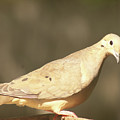 Mourning Dove by Diane Schuler
