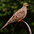 Good Morning Mourning Dove  by Earl Williams Jr