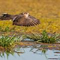 Mourning Dove In Flight by Tam Ryan