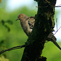 Mourning Dove by Jenny Gandert