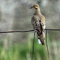 Mourning Dove by Karon Melillo DeVega