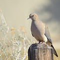 Mourning Dove by Marv Vandehey