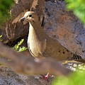 Mourning Dove On The Hillside by Linda Brody