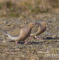 Mourning Dove Pair by Marie Read