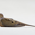 Mourning Dove by Shelly OBrien