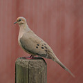 Mourning Dove Sitting Pretty by Tina B Hamilton