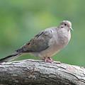 Mourning Dove by Sue Feldberg