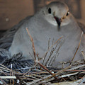 Mourning Dove With One Of Two Chicks by Jay Milo