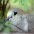 Mourning Dove by Yuri Lev